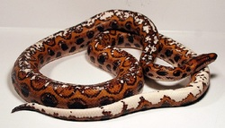 Rainbow Boa Morphs and Types - StarDust Scales